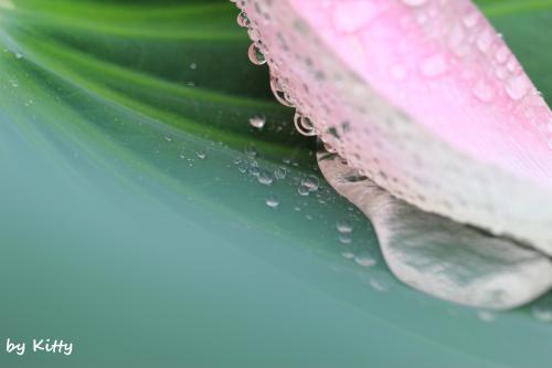 ☆雨降る古代蓮の里は、神秘な世界☆