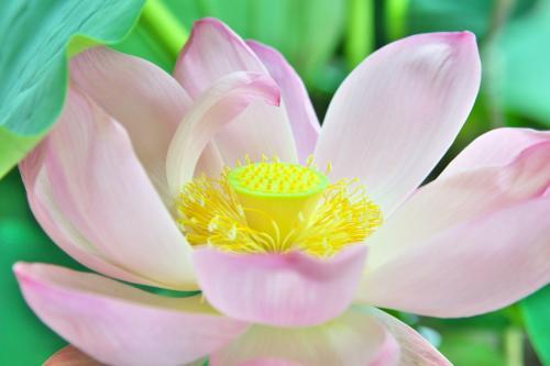 城沼の花ハスまつり 日本で一番暑い館林だけど、今日は涼しかったみたい(^0^)