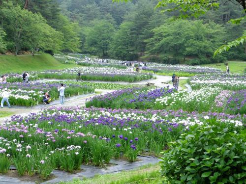 新発田あやめまつり、と、夏の福島潟を散策