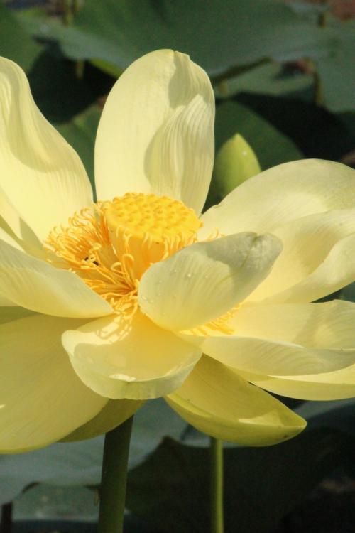 行田市 「古代蓮の里」を訪ねて ジャスト1時間で園内を回るのは大変!! ドタバタ蓮のお花見