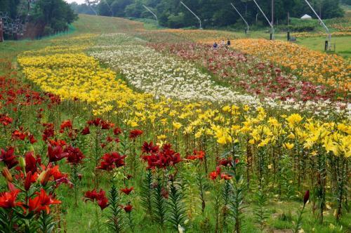奥播州の高原に咲く150万輪のゆり