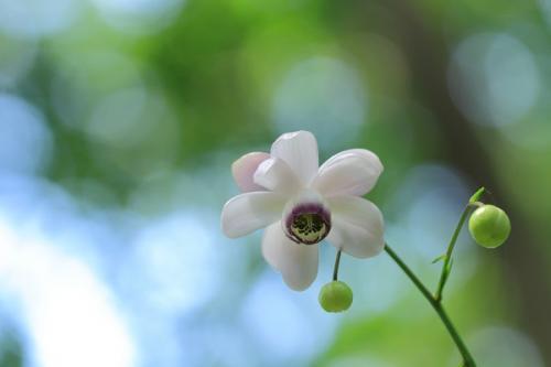 森の精のようなお花を探して…