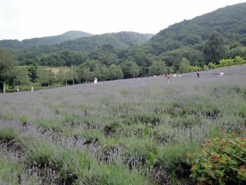 蒜山ハーブガーデンでラベンダー摘み体験