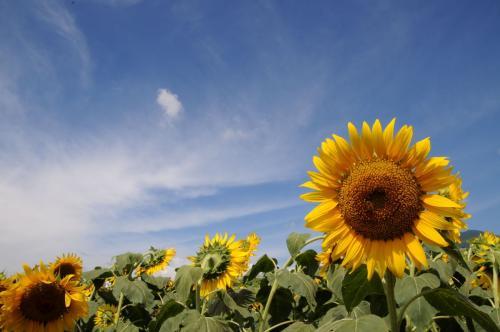 向日葵咲く甲州の夏 ~明野のひまわり畑~