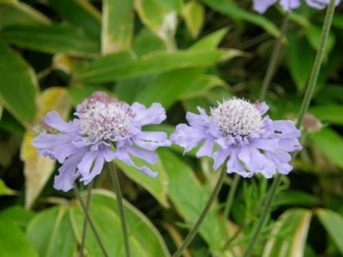 花めぐりトレッキング・・・菅平牧場から花の百名山、根子岳編
