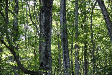 世界遺産の白神山地に行ってきました。現在日本には世界遺産が18登録されている。<br />その内自然遺産は4箇所で、白神山地と屋久島、知床、小笠原諸島である。<br />大自然をテーマに旅をしている私にはこの4箇所は外せない場所である。<br />2007年に知床に行き、2009年に屋久島、今回3つ目の白神山地である。<br /><br />当初、名勝地の様に美しいブナ林の景色を期待していたが・・・さにあらず!<br />人の影響を全く受けていない原生的な状態が広大に存在することが世界的に珍しく、世界遺産としての価値を生んだのである。 <br />椎茸栽培のホダ木以外には利用価値がなかったことが結果的に伐採を免れ、価値を生んだことになる。<br />しかし樹齢200年-300年の大木は全身の枝葉から受ける水滴を樹根に蓄え、ブナの林には水が絶えないと云われ、<br />その落葉は他の樹木や生物の栄養分となり、究極の森と呼ばれている所以である。<br /><br />この他にも楽しみは満載!<br />青いインクを流したような十二湖の青池や初秋の奥入瀬渓流の散策、高山植物の美しい花々が咲き乱れる種差海岸の散策など、<br />また、紅葉の始まる八幡平国立公園のパノラマ風景<br />更に、赤や黄色のたわわに実った林檎畑、黄金の田園風景など東北ならではの風情のある旅であった。<br /><br />何よりも、奇跡的に全日程好天気に恵まれた素晴らしい旅であった。<br />今回は名バスガイドや親切な添乗員に恵まれ、旅の楽しさも倍増・・・東北の旅も捨てたものではない!<br /><br />今回もまた新しい発見、新しい感動があった。やはり旅は楽しい・・!!<br /><br /><br />世界旅行記 ★旅いつまでも・・<br />http://yoshiokan.5.pro.tok2.com/shirakami/nori185shira.html<br />