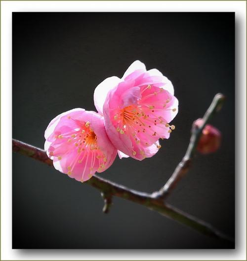 Solitary Journey [1518] 確実に近づく春の訪れ。白や淡いピンク色の梅の花が咲きはじめました♪<縮景園で梅見茶会>広島市中区