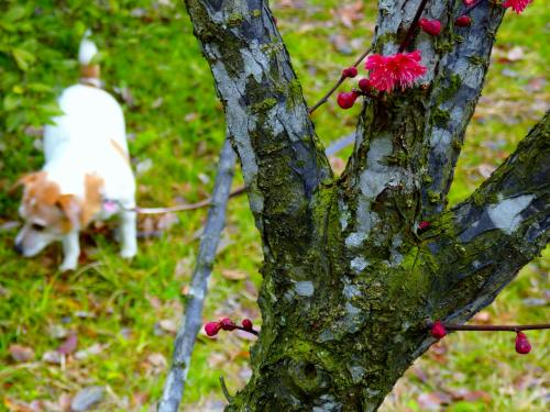 京都御苑の紅梅 白梅 蝋梅 そして時々 小梅