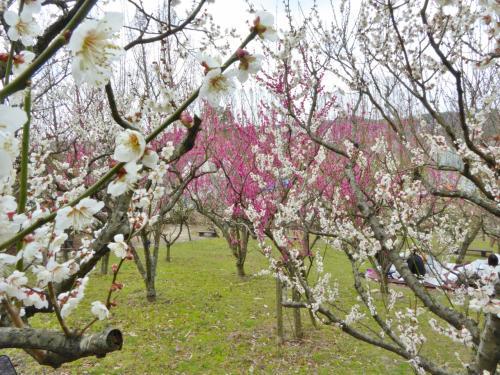河内長野「花の文化園」で観梅、「くろまろの郷」でお買物・・・