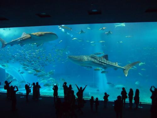 http://4travel.jp/travelogue/10987354<br />⇒続きです。<br /><br />沖縄2日目<br /><br />今日は沖縄の上のほうまでドライブ<br /><br />ずっと憧れていた美ら海水族館にも行けて充実した一日でした!