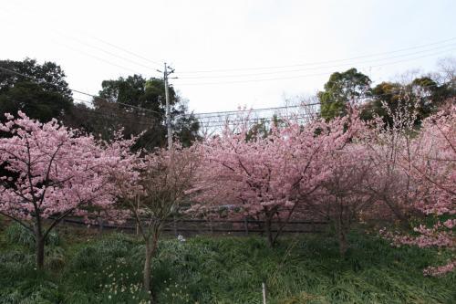 春を感じに、千葉県鋸南町の頼朝桜 in 佐久間ダム
