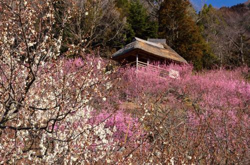 早春の筑波山へ (1)観梅編