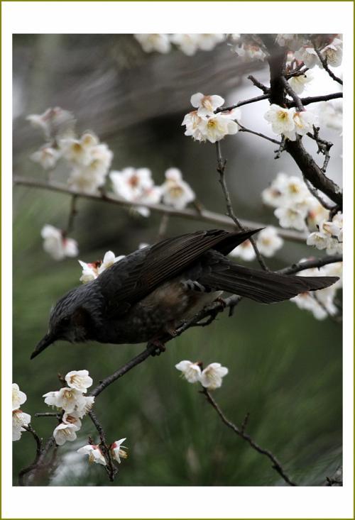 Solitary Journey [1534] 満開の梅の花にメジロやヒヨドリが飛び交う…ちょっとしたバードウォッチング<大和郡山城跡>奈良県大和郡山市