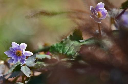春を告げる可憐な花ユキワリイチゲ(瀧樹神社)