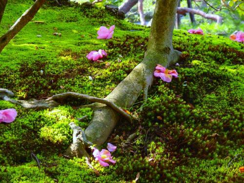 有楽椿は地面に落ちたのではなく地面に引き寄せられたのだ!等持院の庭で哲学してきました。