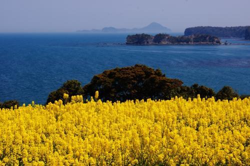 国東半島、長崎鼻の菜の花