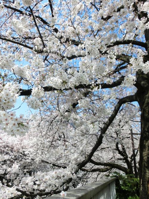日曜日でも空いてて良かった☆満開直前、神田川の桜