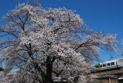 中央線勝沼駅ホームから眺められる見事な桜(山梨)