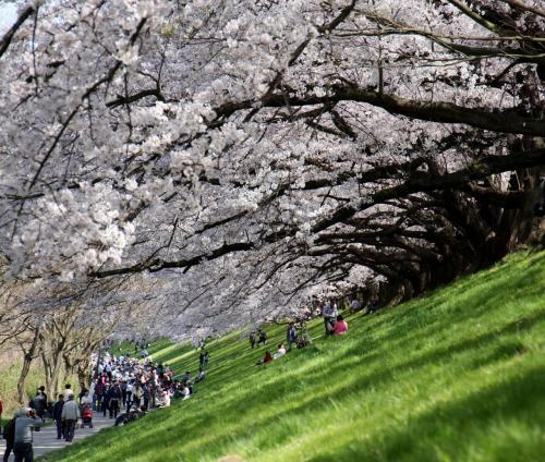 今年の背割堤の満開桜並木、後編です。