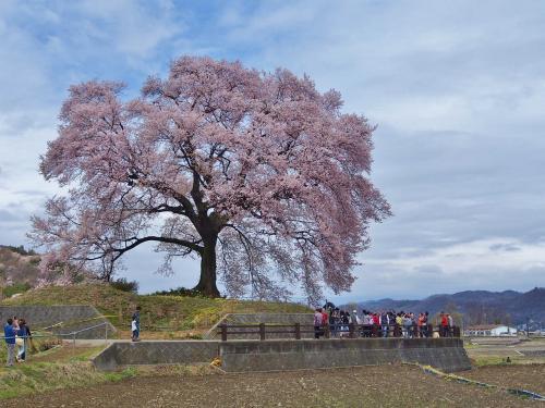 南アルプス見えず / 山高神代桜・わに塚の桜