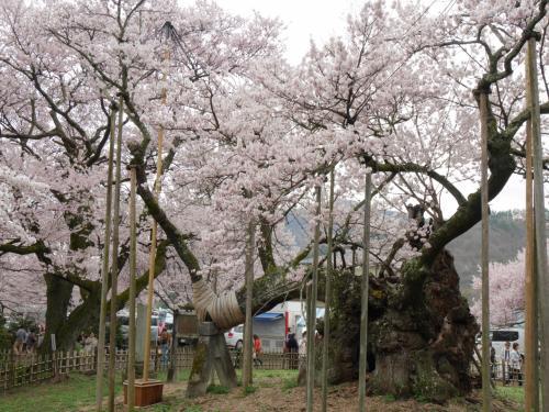 日本三大桜の山高神代桜を訪れるバスツアー、曇天でしたが満開の桜に出会えました