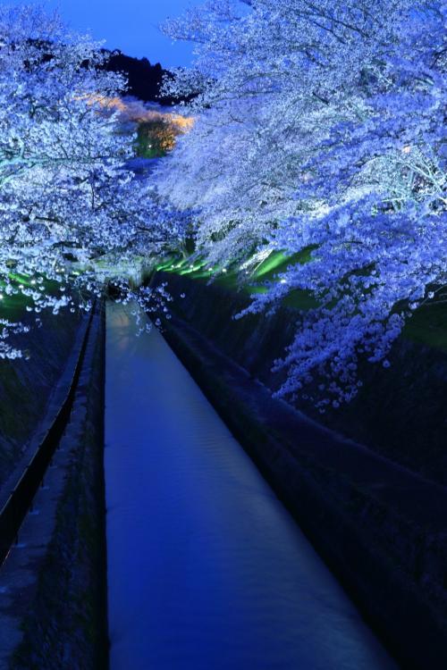 滋賀 桜めぐり~琵琶湖疏水のライトアップ