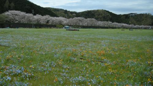 満開の桜と田んぼの花畑~下田から松崎へ
