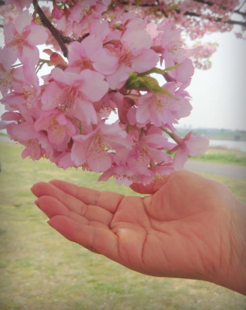 春のひと時、東京駅・丸の内界隈と市川・江戸川堤の河津桜♪