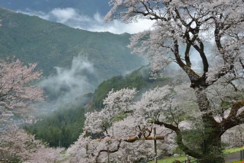 四国を代表するお花見&撮影スポット 仁淀川町の「ひょうたん桜」