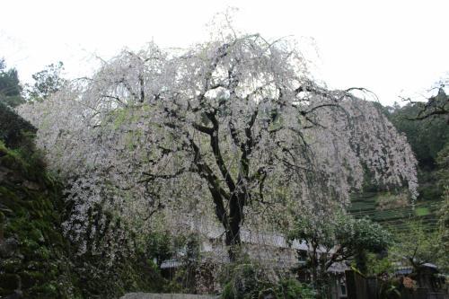 市川家の枝垂れ桜