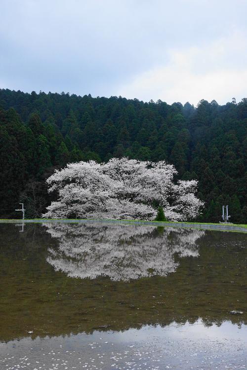 奈良の桜巡り 2015年 三多気の桜もね!