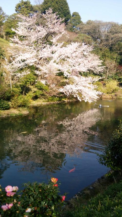 椿山荘東京_2015桜