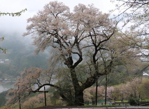 四国山地の女王様樹齢500年ひょうたん桜と初逢瀬