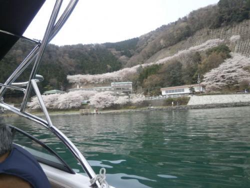 琵琶湖,湖北の桜