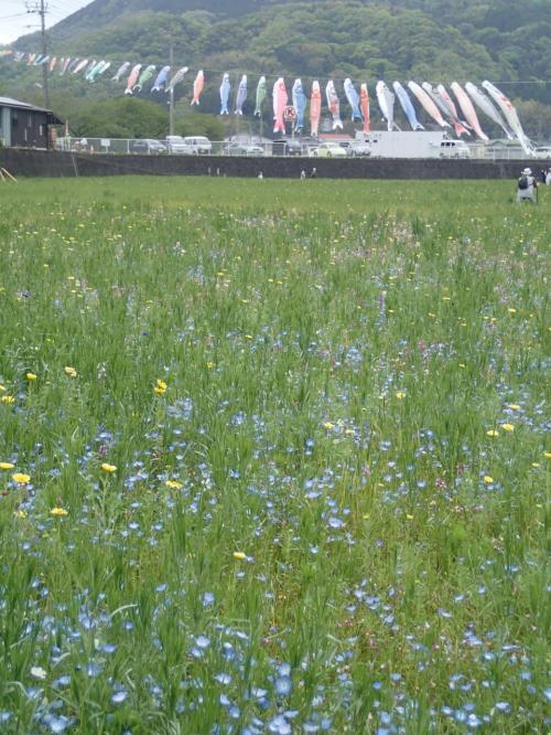 春の西伊豆 松崎町、田んぼのお花畑を見て伊勢エビを・・・