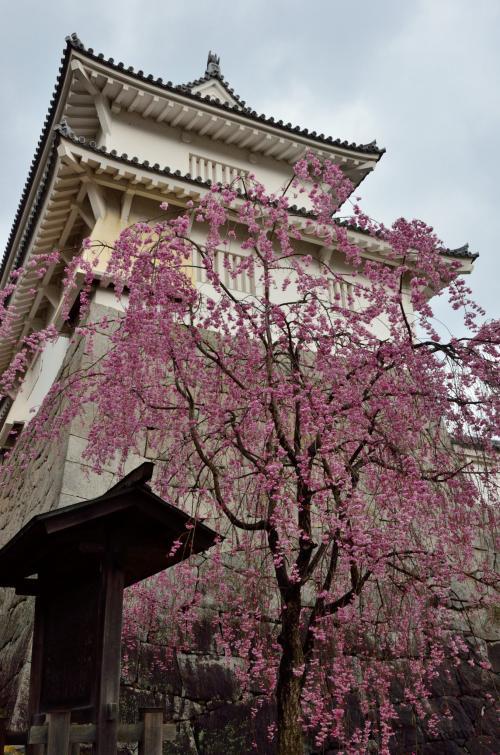 福島の桜名木巡り(1) ~霞ケ城公園の雨上がりの桜~