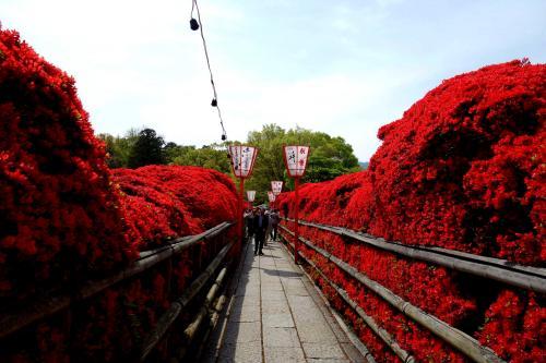 今年の桜の季節は自分の週2日の休みがいつも雨。<br />毎年見に行っている京都の桜を拝めずに終わってしまった。<br />桜が散ったこの時期、<br />何故か連日の晴れ模様でどこかへ行きたくなってウズウズ。<br />桜に縁がなかった今年、<br />以前他のトラベラーズさんの真っ赤に染まったキリシマツツジを思い出し、<br />毎日見頃を長岡天神のサイトでチェック。そして本日決行!<br />長岡天神から近い乙訓寺(おとくにでら)のボタンも見頃の様なのでついでに。<br />花見だけでは満足しない食い意地のはった相棒から<br />京都らしい所で食事したいとリクエストがあり、<br />当日祇園の隠れ家的割烹料理屋さんで京会席を予約。<br />個室のお座敷で頂く京料理、ちょっと贅沢気分を味わえました。<br /><br />長岡天神→乙訓寺→祇園<br />