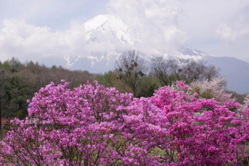 富士山と桜、ツツジの撮影