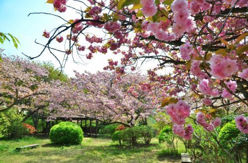 [花旅♪]春の花々を巡る2泊3日の旅(1)~八重桜に彩られた〈妙義山 森林公園さくらの里〉