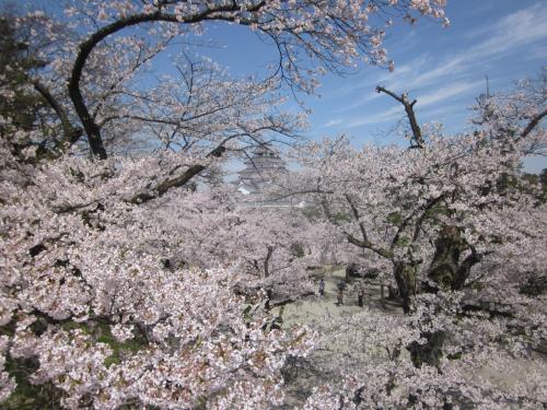 桜色に染まる鶴ヶ城は優雅に輝くような美しさでした。