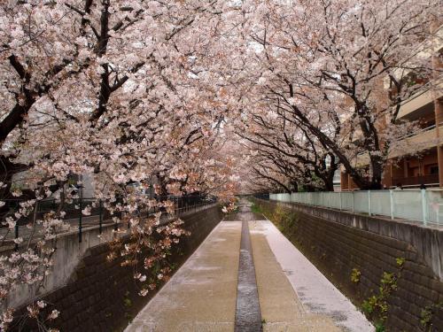 2015 麻生川の桜
