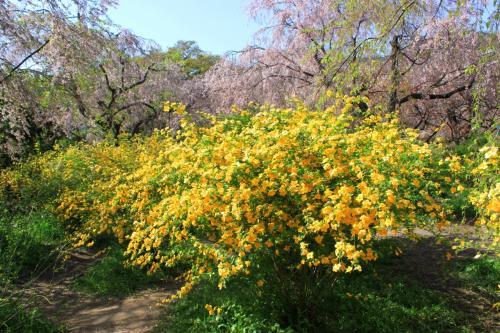 京都名残りの桜~原谷苑~御室仁和寺へ~泣き桜は満開だったよ♪