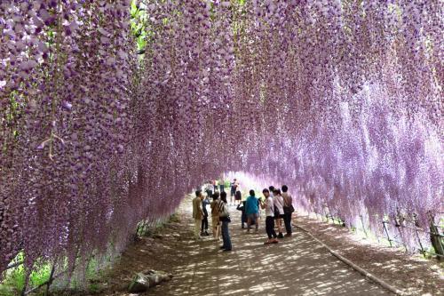 """""""河内藤園""""に行ってきました。。。 """"藤に魅せられた春のひと時でした~"""""""