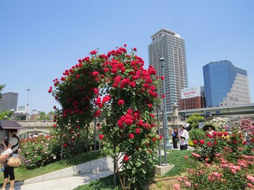 中之島公園「バラ園」・淀川をチャリで走る