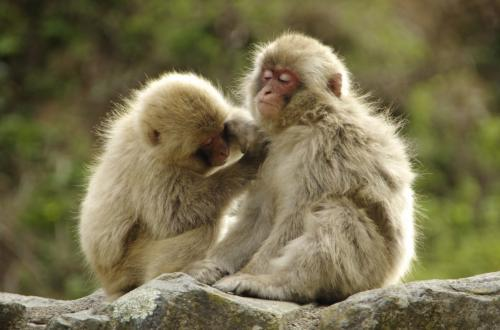 長野県 地獄谷野猿公苑 ~温泉に入る猿~