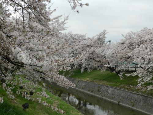 2015桜だより◆高田川沿いに咲き乱れる『高田千本桜』(奈良県大和高田市)