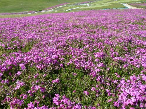 横手の芝桜フェスタに行ってきた