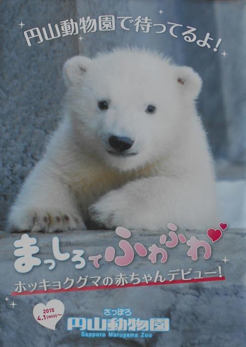 5月の北海道 札幌 円山動物園の白くまの赤ちゃんにご対面