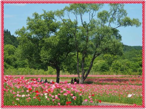 華やかで眩しい~~!ポピーのお花畑 ★国営みちのく杜の湖畔公園★