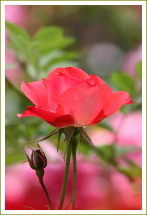 Solitary Journey [1598] 豪華で見応えがある初夏を彩る花、モネゆかりの睡蓮も咲いていました♪<湧永庭園バラ園> 広島県安芸高田市